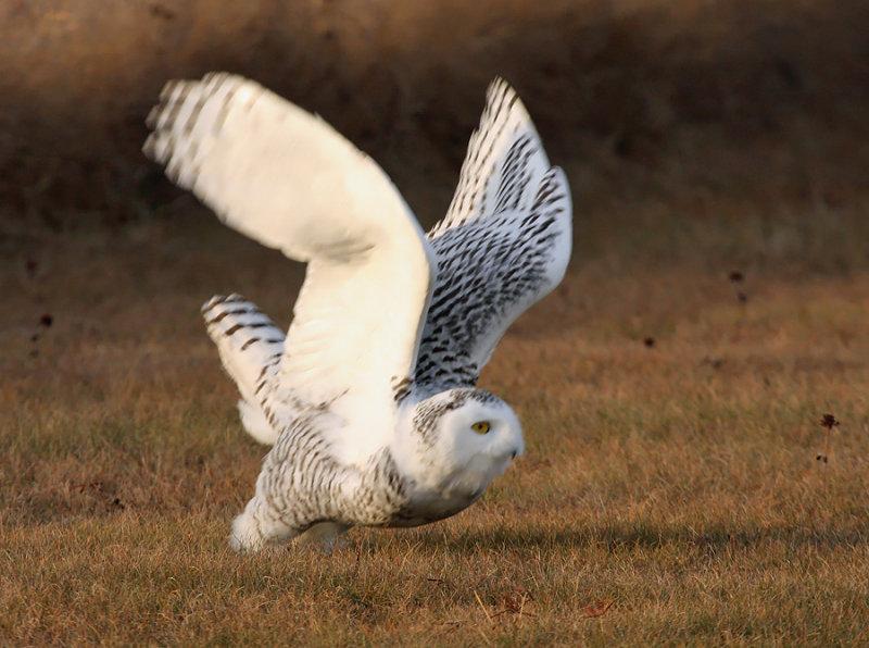 Snowy Owl 2486
