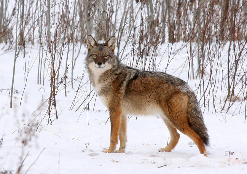 Coyote 3709
