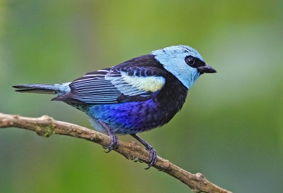 Blue- necked Tanager