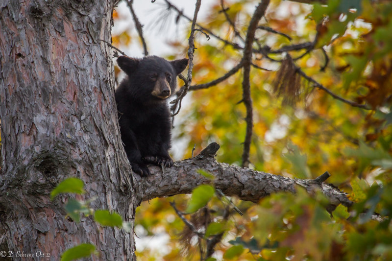 Black Bear N Conway NH.jpg