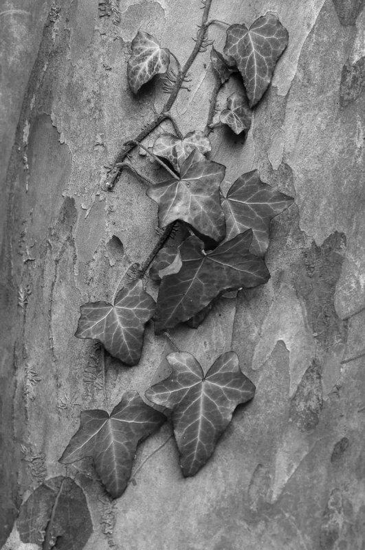 December : English Ivy on Japanese Stewartia