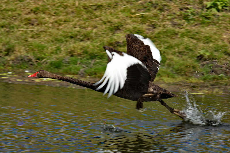 Black SwanTaking Off