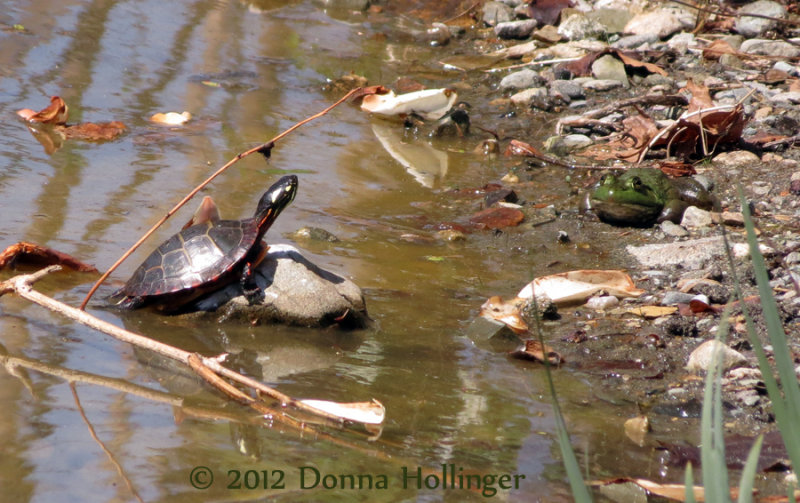Little Painted Turtle and the Frog