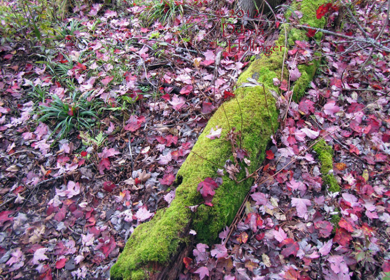 Red Leaves Opposite Mossy Log