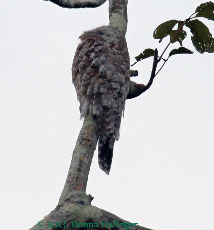 Body feather pattern of Great Potoo