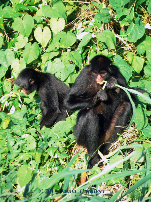 Two Spider Monkeys Eating on Shore