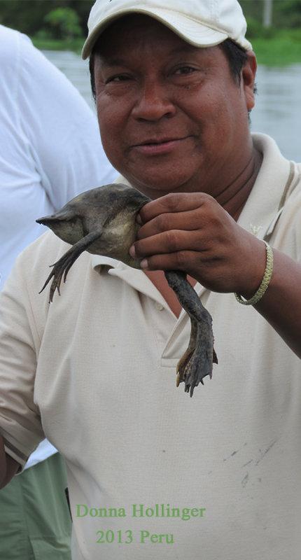 Segundo, showing us a Surinam Toad