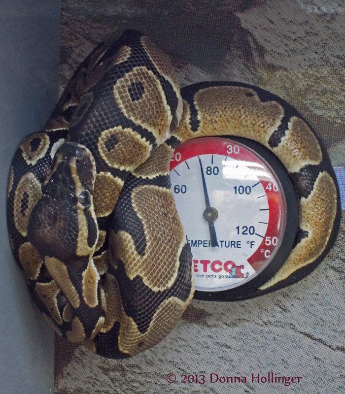 Ball Python Wrapped