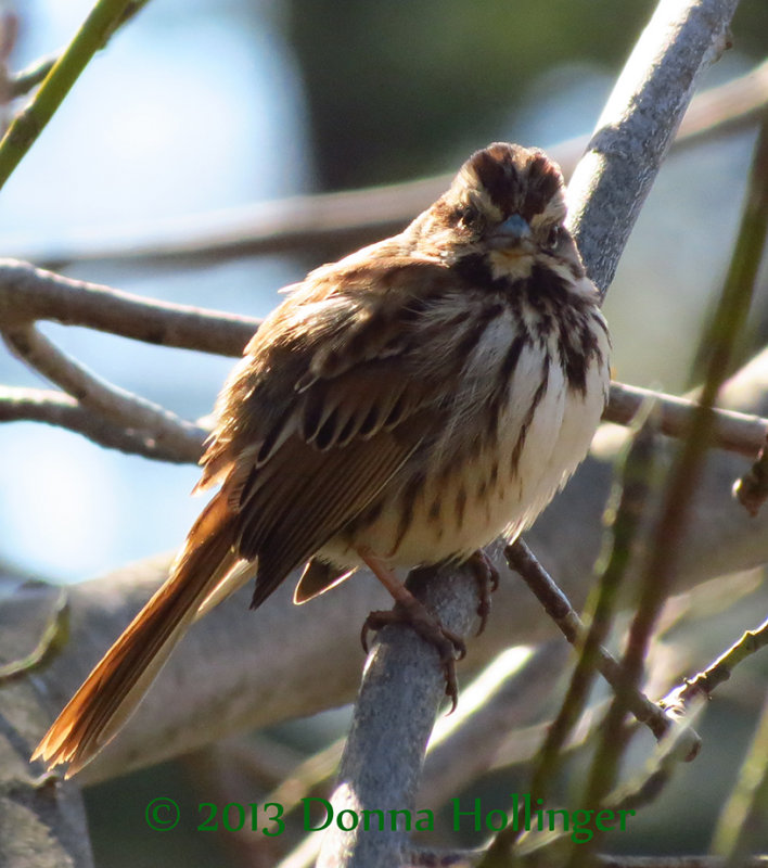 Song Sparrow At Willow Pond