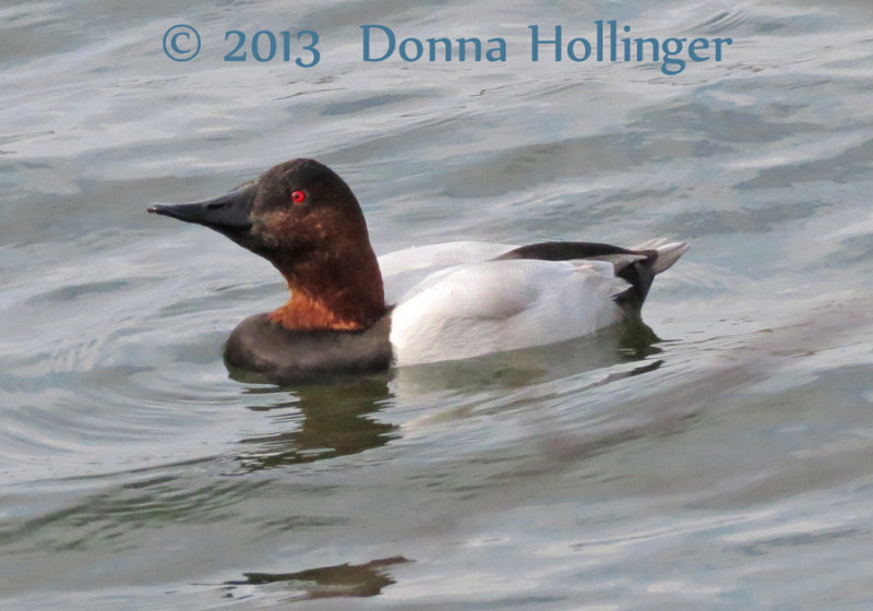 Canvasback Male at Freshpond