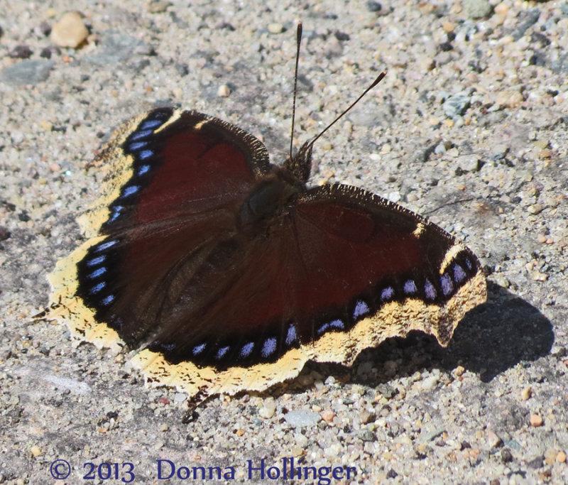 Mounring Cloak Butterfly at Mount Auburn