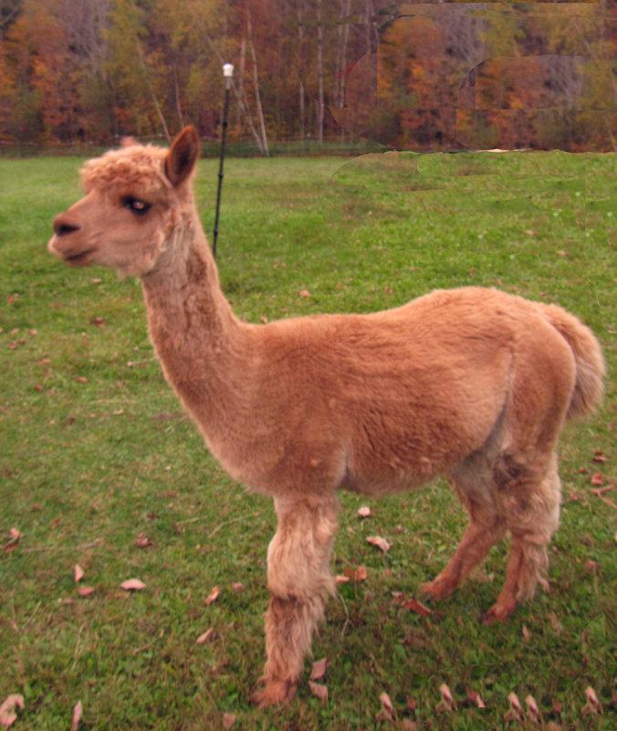 Wallaces alpaca
