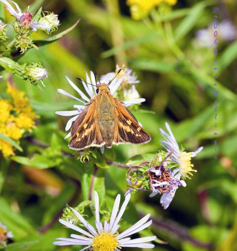 Leonards Skipper (butterfly) on Aster