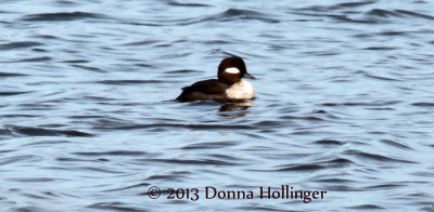 This is a Bufflehead (Bucephala albeola)