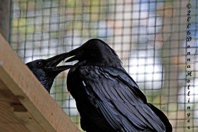 Ravens Necking