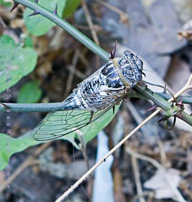 Cicada in  the Baths
