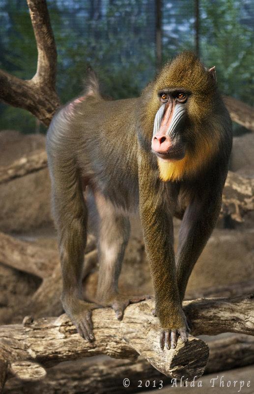 wisc monkey©.jpg
