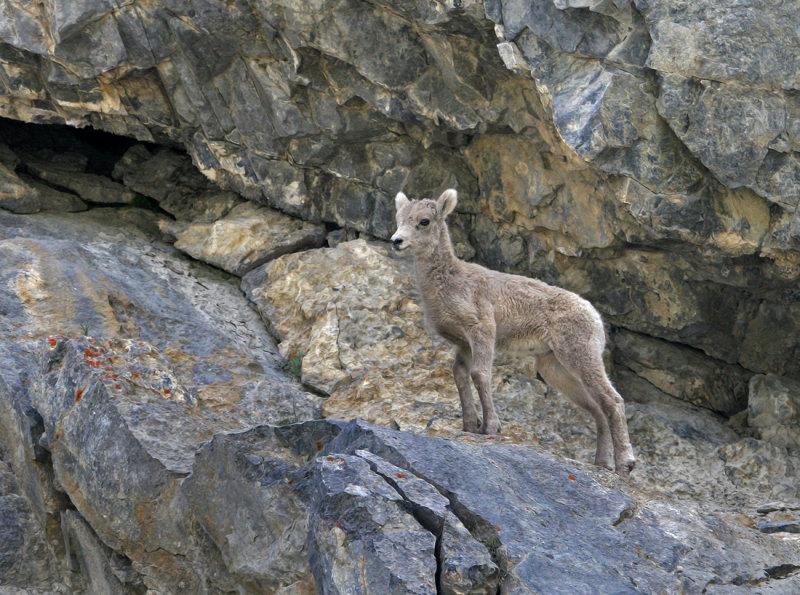 Baby Bighorn Sheep