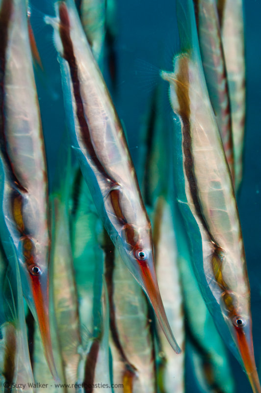 Shrimp Fish