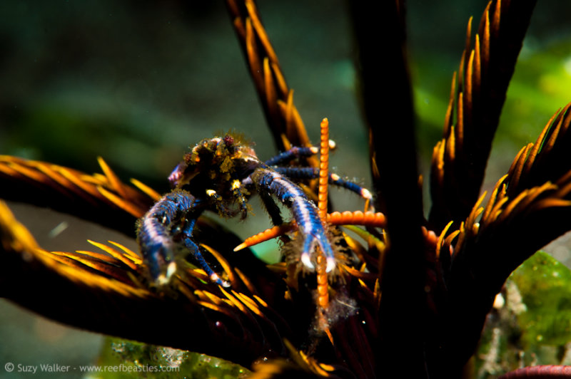 Blue Squat Lobster in a crinoid