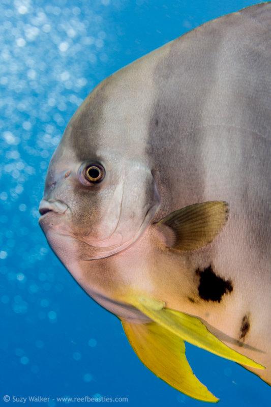 Friendly batfish