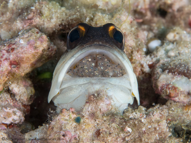 Jaw fish with Eggs