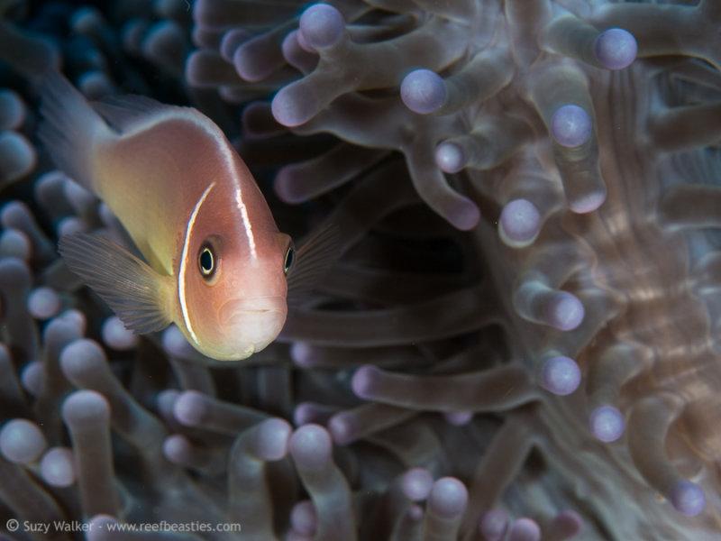 Asian Nemo