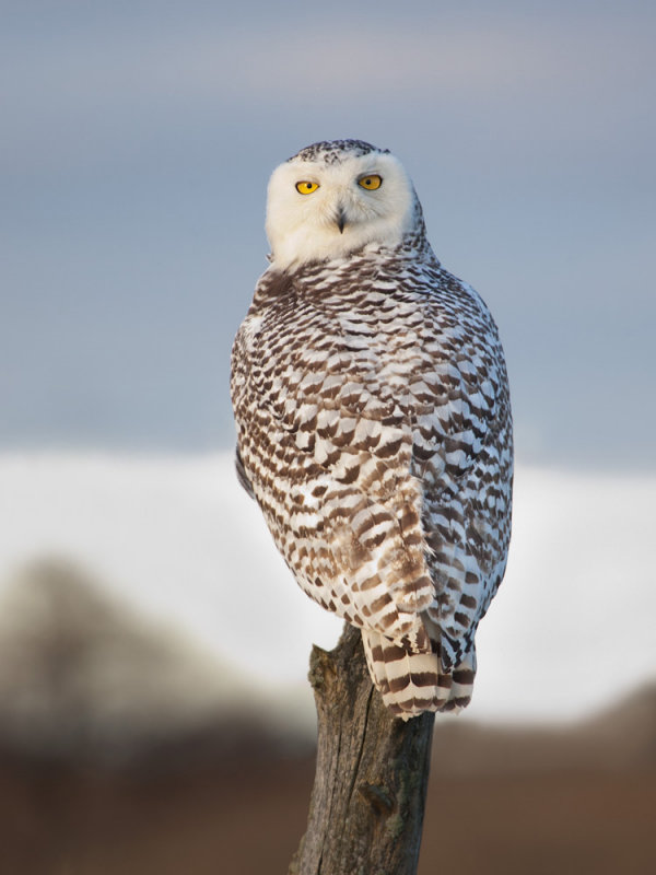Harfang des neiges -- _Z0U9197 -- Snowy Owl
