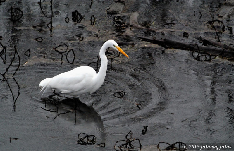 Great White Egret in Delta Ponds