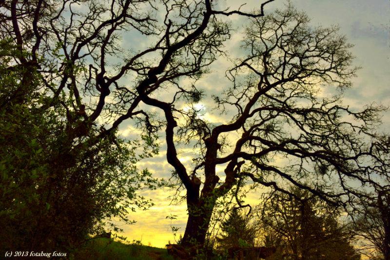 Oak Tree And Sunrise