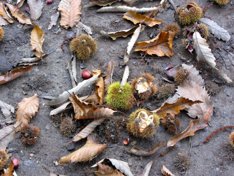 all the forests around here are filled with chestnuts