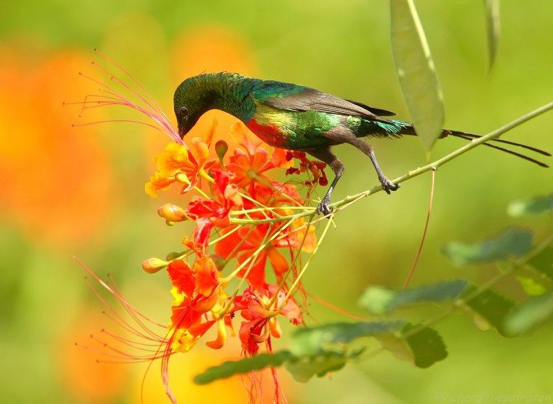 Feeënhoningzuiger - Cinnyris pulchellus - Beautiful Sunbird