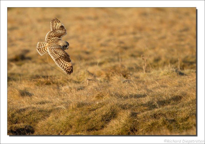 Velduil - Asio flammeus - Short-eared Owl