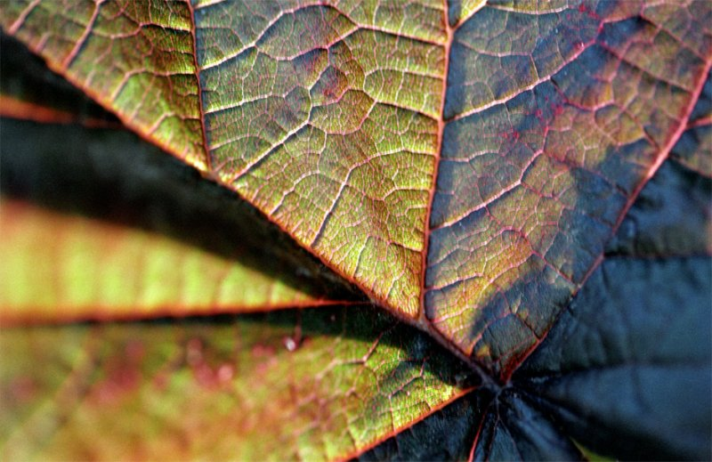 Corylus avellana maxima purpurea