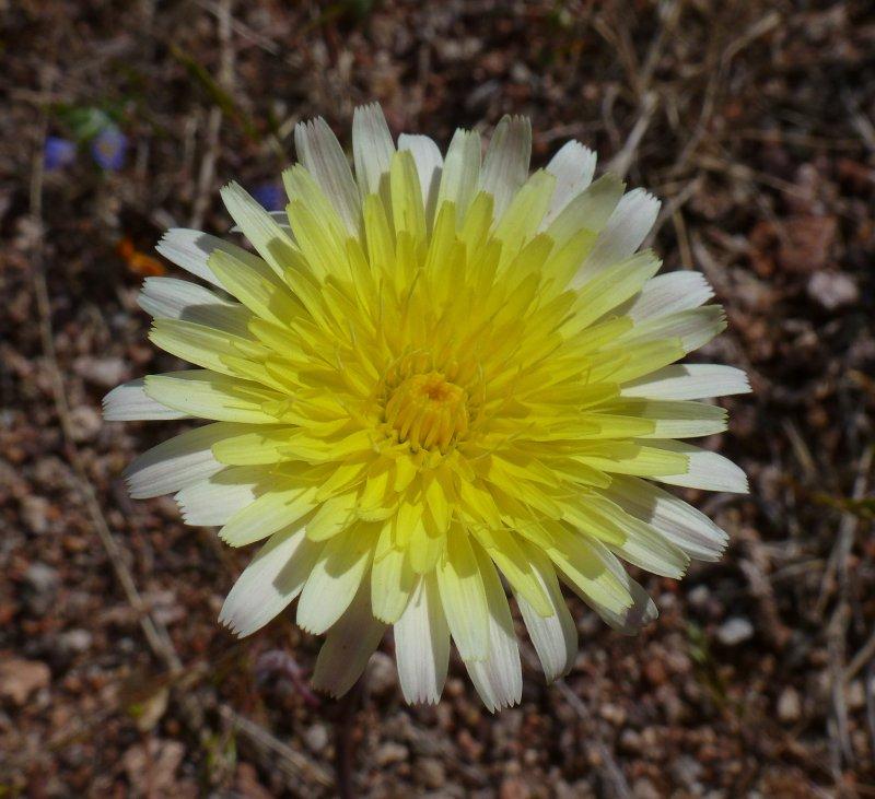 Desert Dandelion - Malacothrix glabrata