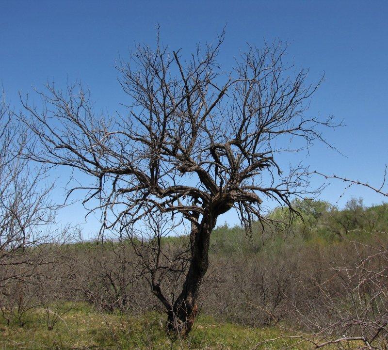 Wild looking mesquite tree at Leroy Springs. Camino Rio Road