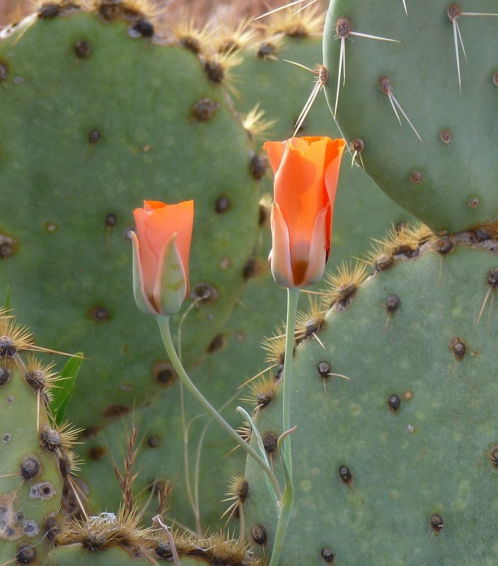 Mariposa Lily and Engelmanns prickly pear. Tonto National Forest - FR 4