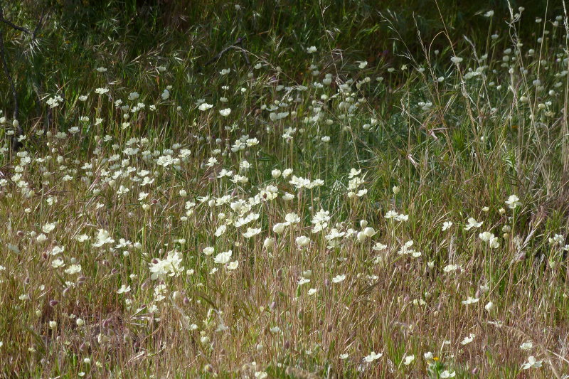 Cream Cups - Platystemon californicus. Tonto National Forest - FR 4