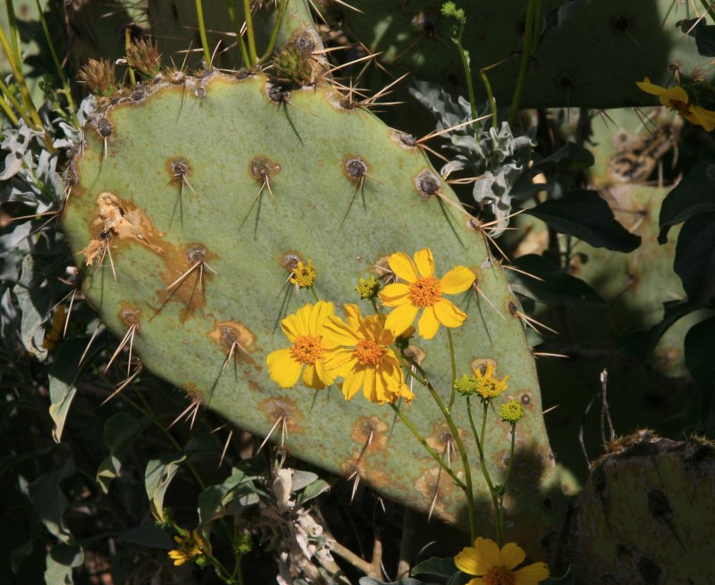 Brittlebush and Engelmanns prickly pear. Tonto National Forest - FR 4