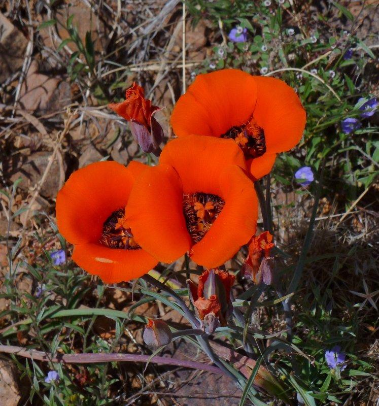 Mariposa Lily - Calochortus kennedyi. Tonto National Forest - FR 4