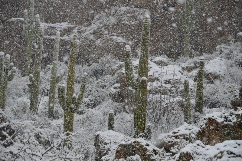 Saguaros on Magma Ridge