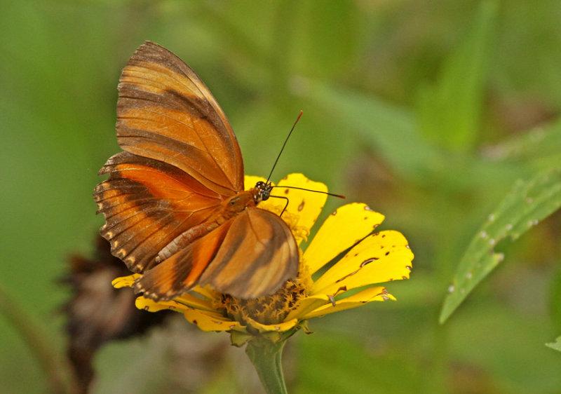 Butterfly-NWC11.jpg