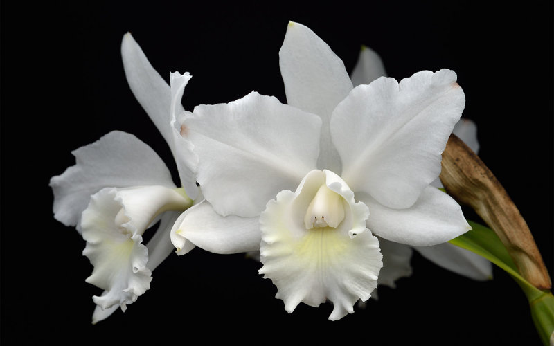 Cattleya Hawaiian Wedding Song