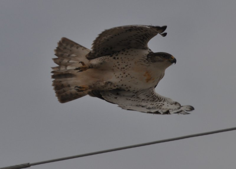 Ferruginous Hawk - first year