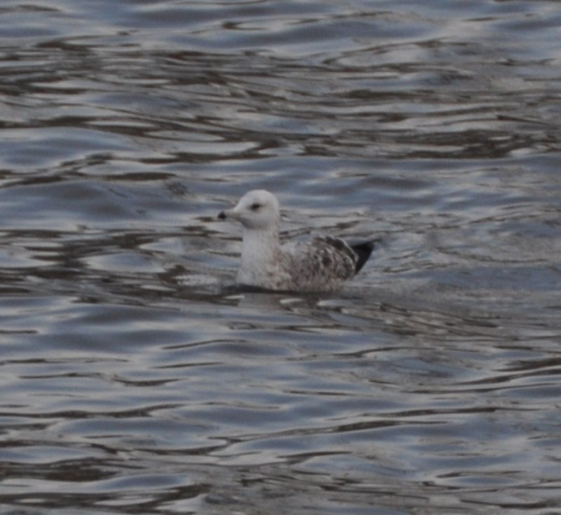 Herring Gull- Second Cycle