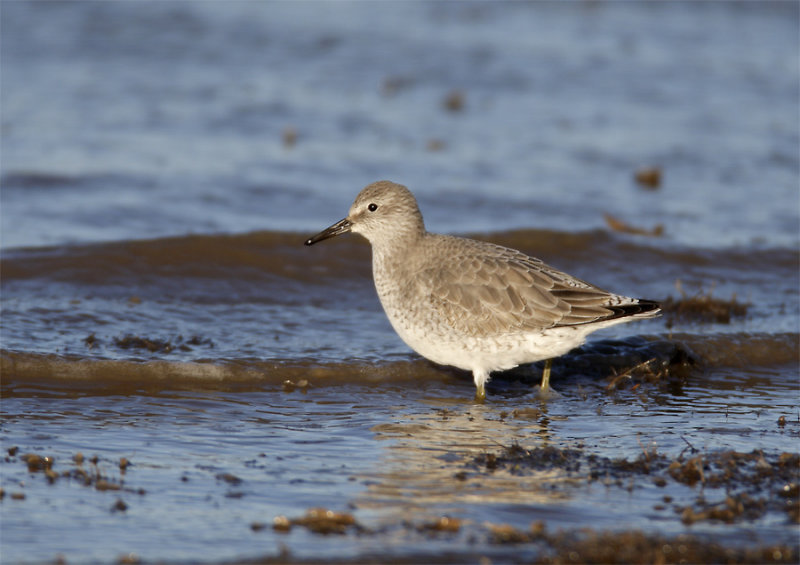Red-Knot.jpg