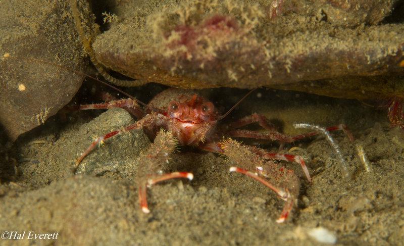 Squat Lobster  (Munida quadrispina)