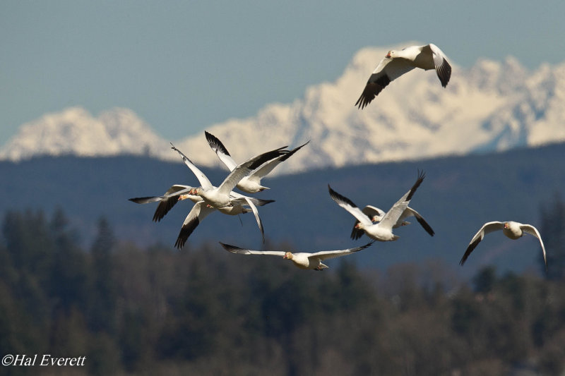 Snow Geese and Cascades