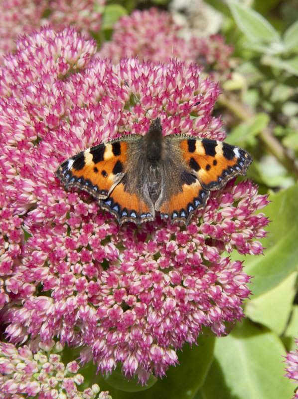 The Small Tortoiseshell is a colourful and well-known Eurasian butterfly in the family Nymphalidae.