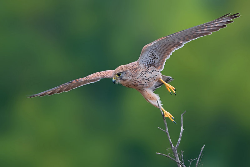 Common Kestrel.